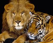 leone-tigri pic